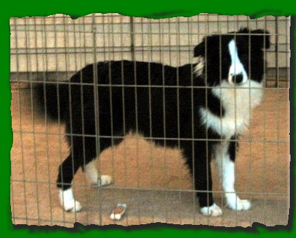 beautiful border collie Ally at Wilsong