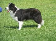 Glory standing at 1 yr old - wilsong border collies