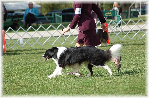 Wilsong Border Collies braeyden on the move at the 2008 BCSA