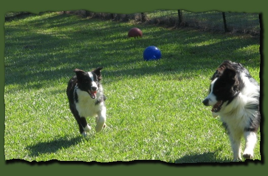 Wilsong Border Collies - Glory & Julee playing