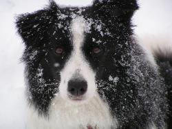 Abby -Wilsong Border Collies file 18