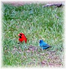 Cardinal and Indigo Bunting Robert, La.Wilsong Border Collies