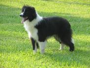 Rowdy at 1 yr old -Wilsong Border Collies