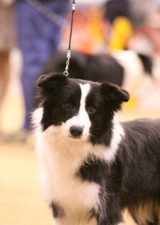 beautiful border collies at wilsong kennels