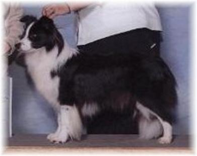 Wilsong Border Collies - Julee