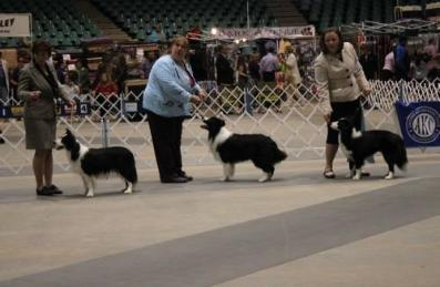 Wilsong Border Collies Buddy in Alexandria, La