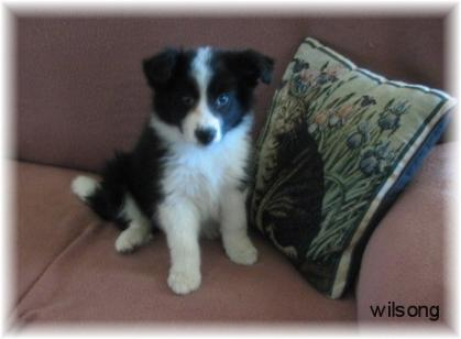 Wilsong's Lil Braeyden border collie puppy