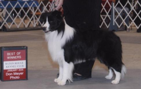Buddy winning Best of Winners  Baton Rouge Kennel Club