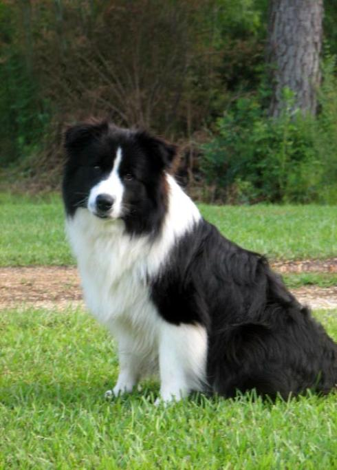 Sportingfield It's Magic at Wilsong-Wilsong Border Collies