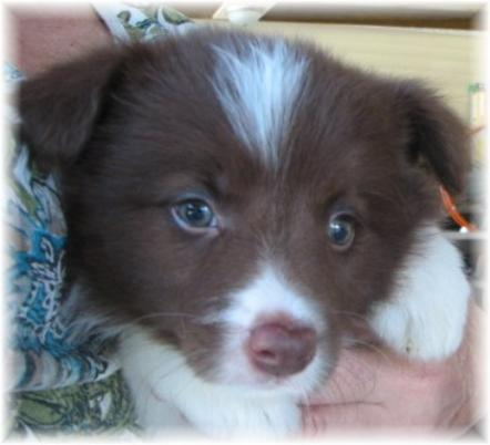 wilsong border collie chocolate puppy