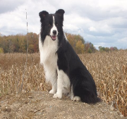 hot shot storm chaser- Wilsong Border Collies file 27