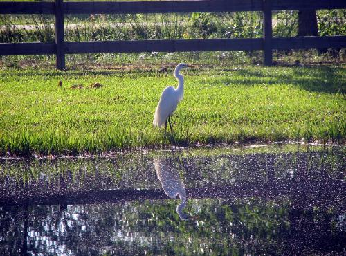 Egret at the pond at Wilsong Border Collies Kennel in Robert, La.