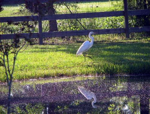 Egret walking at Wilosng Border Collies