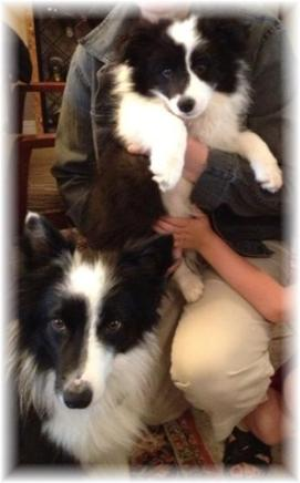 lovely border collie puppies for sale