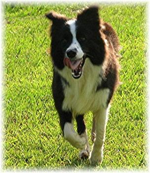 Wilsong Border Collies - Glory running free