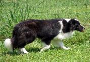 Glory Wilsong Border Collie