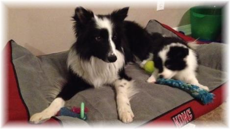 lovely border collies
