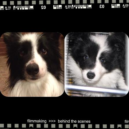 wilsong border collie beautiful healthy