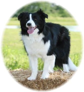 Libby -Wilsong Border Collies file 05