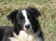Wilsong Border Collies -  Glory