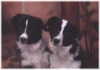 wilsong kennels glory and rowdy border collies