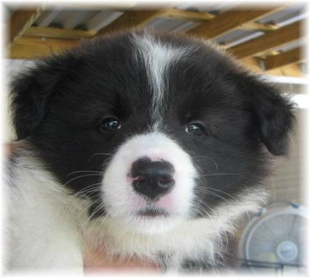 beautiful seal & white border collie