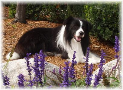 Borderfame Choc Chill - Wilsong Border Collies file 01