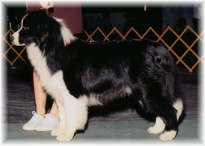 Borderfame Choc Chill showing - Wilsong Border Collies file 02