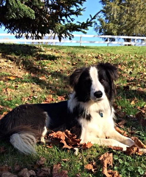 beautiful border collie available rescue