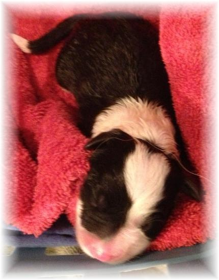 wilsong border collie puppy tinkerbell girl 1