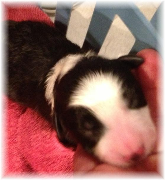 wilsong border collie puppy tinkerbell girl 2