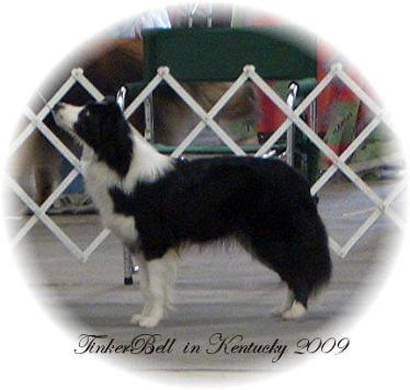 Wilsong Border Collies - TinkerBell