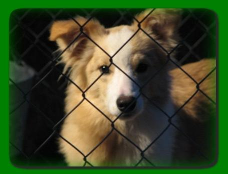 beautiful gold and white border collie Trace