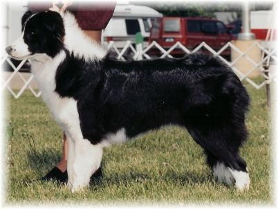 Borderfame Magic Journey showing  - Wilsong Border Collies file 03